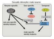 Pereira, sexual dimorphisms, bioRxiv 2018