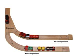 XRN2-image PR.001
